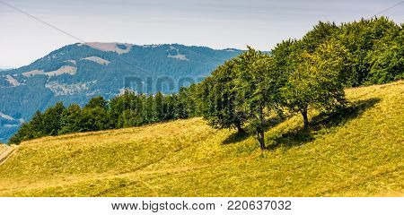 grassy hillside with trees on a bright day. beautiful summer scenery in Carpathian mountains