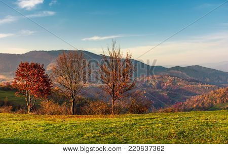 row of trees with red foliage on a grassy slope. beautiful autumnal countryside landscape of Carpathian mountains