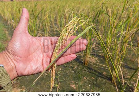 hand tenderly touching a young rice in the paddy field. selective focus