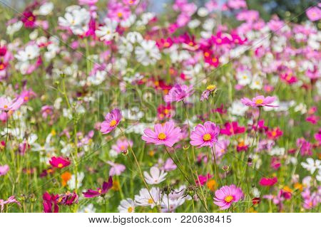 Pink white and red cosmos flowers garden.
