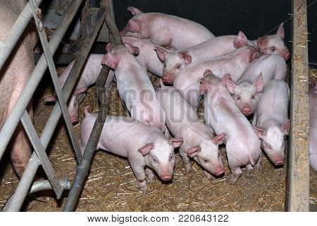 Newborn piglets suckling their mother at the pig factory