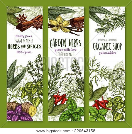 Herbs and spices seasonings banners of basil, oregano or tarragon and ginger, cinnamon or vanilla and garden rosemary, peppermint condiment or cinnamon and bay leaf. Vector sketch seasoning design