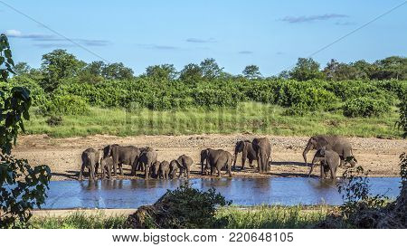 African bush elephant in Kruger national park, South Africa Specie Loxodonta africana family of Elephantidae