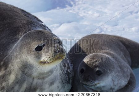 Seal - ringed seal (Pusa hispida), A young mother with a born cub lies on the snow. Antarctic.