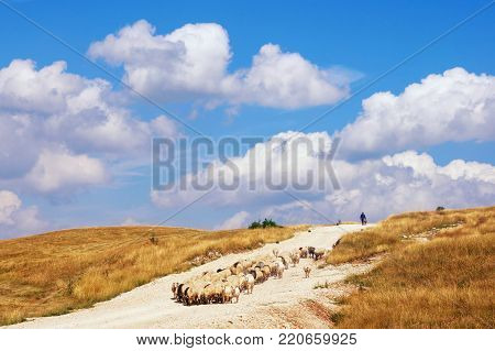 Beautiful landscape with blue sky, white clouds, yellow grassland and herd of sheep coming down the hill. Balkans, Montenegro, Krnovo