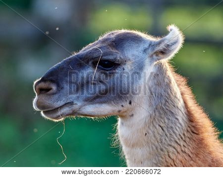 Funny lama close up portrait