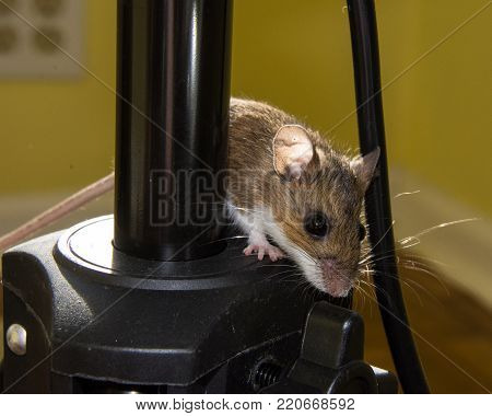 A backlit wild brown house mouse peeking out from behind black electrical equipment.