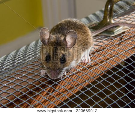 Front and face view of a wild brown house mouse with bulging black eyes and pink ears, standing on a wood and wire cage that he has escaped from.
