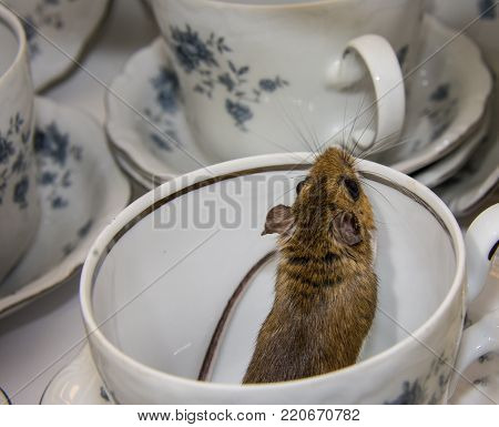 A back side view of a wild brown house mouse, Mus musculus, jumping out of a blue and white tea cup.  A set of stacked dishes is visable in the background.