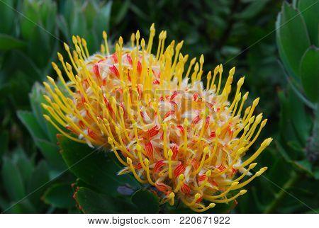 A close-up shot of blooming pincushion protea