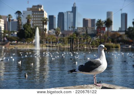 Close up of a Seagull with the LA Skyline and MacArthur Park in background