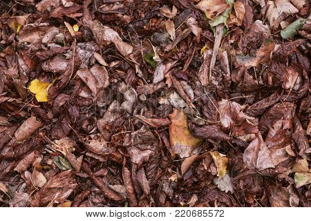 Dry, fallen leaves. The beetle sits on the darkened leaves. Autumn leaf fall.