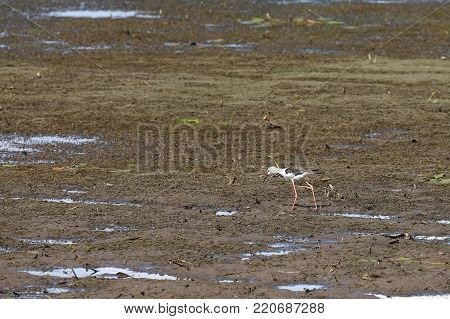 Warder bird in the wetland of Yala National Park in Sri Lanka