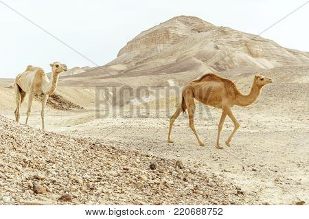 Couple of two camels family walk together through wil day desert sand. Wildlife in wilderness. Travel and tourism in middle east nature.