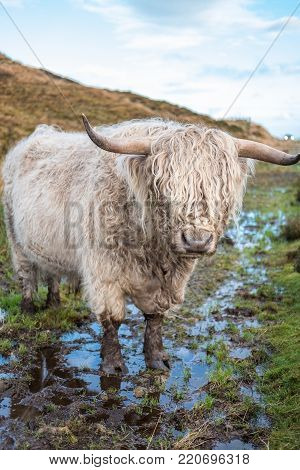 Two Of Highland Cattle, A Scottish Cattle Breed. Hairy Cow With Long Horns And Wavy Coats. On The Fi