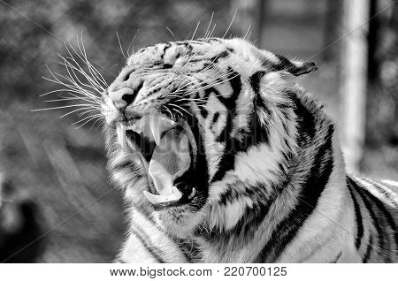 A monochrome Tiger, Panthera tigris, the largest feline species