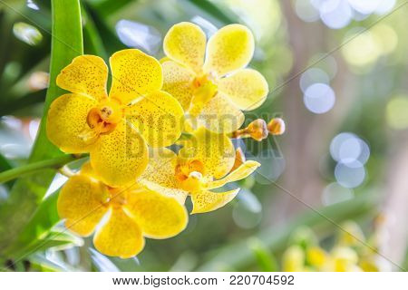 Orchid flower in orchid garden at winter or spring day for postcard beauty and agriculture idea concept design. Vanda denisoniana orchid or Ascocenda Kenny Gold orchid.