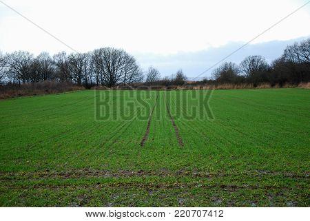 Farmers green wheat field by fall season