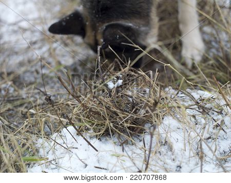 A shepherd dog sniffing out mice in the ground covered with snow, selective focus closeup