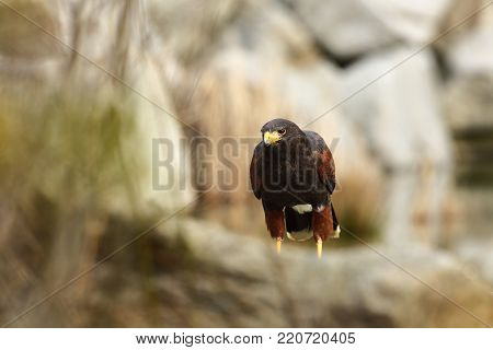 Parabuteo unicinctus. A medium-sized predatory bird of the Harrier family, ranging from the southwestern United States to the south to Chile and the central part of Argentina. Photographed in Czech. Nice picture. Nature. From bird life.