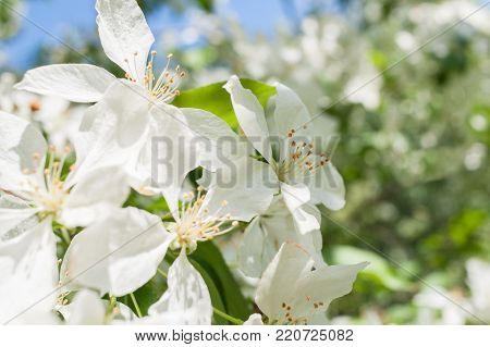 Sunlit spring branch of a blossoming apple tree with white flowers on beautiful bokeh background.