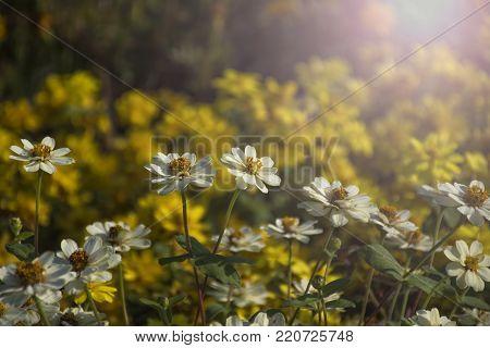 Zinnia angustifolia Kunth in the garden(Zinnia white)