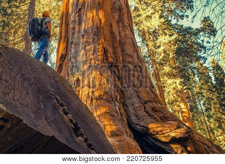 Sequoia Forest Exploration. Caucasian Hiker Exploring Giant Ancient Forest in the Sierra Nevada Mountains. Sequoia National Park, United States of America.