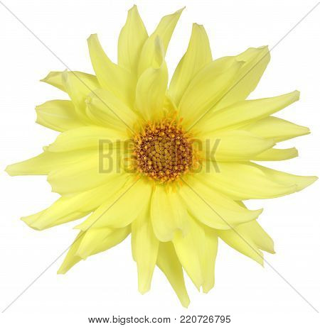 Bud Of Yellow Daisy Isolated