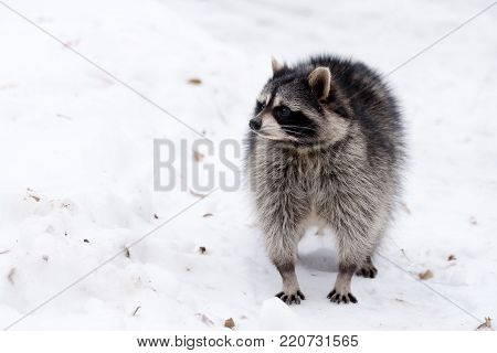 Fluffy raccoon walks on the white snow in winter frosty day