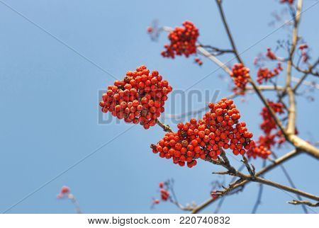 Branches of mountain ash (rowan) with bright red berries against the blue sky background