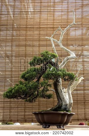 Bonsai Juniperus Chinensis (Itoigawa). The age of about 50 years.