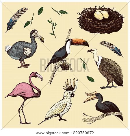 hand drawn vector realistic bird, sketch graphic style, set of domestic. griffon vultures, cockatoo parrot. rhinoceros hornbill, toco toucan, flamingo and extinct species. moa, dodo and feather