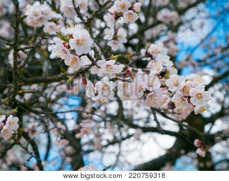 Blooming trees, flowering fruit trees, spring and blooming apricot trees Blooming field trees, glowing nature, apricot trees