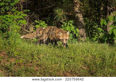 Red Fox Vixen (Vulpes vulpes) and Kit Come Out of Woods - captive animals