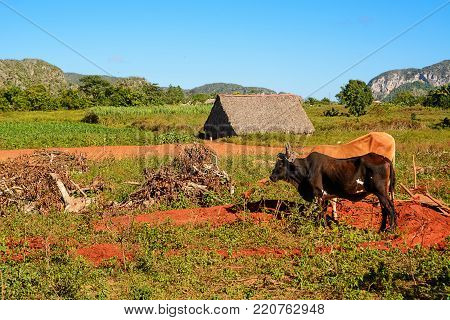Dryer for tobacco, cultivated fields of tobacco and oxen in Vinales (Cuba)