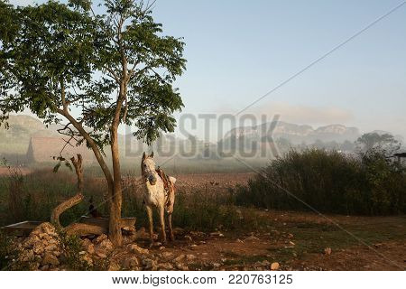 White horse in the Vinales Valley at sunrise and background Mogotes