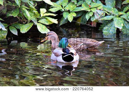 Ducks swimming in a creek beside a riparian woodland