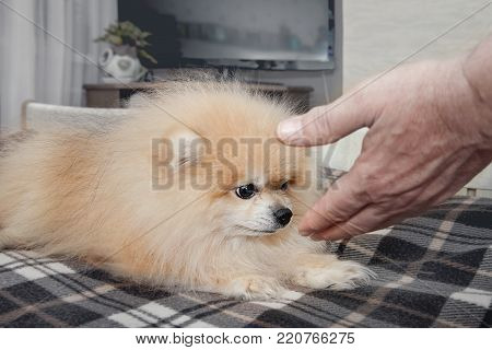 Little white dog sniffing a hand looking brown eyes on the person who tries to pet him. A horizontal frame.