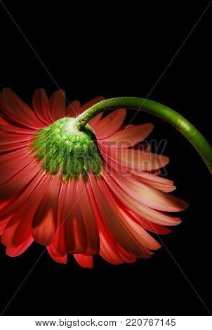 A isolated reverse view of a  Red Gerber Daisy.
