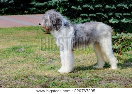 Romanian Shepherd dog profile. Romanian Mioritic Shepherd Dog is on the grass.