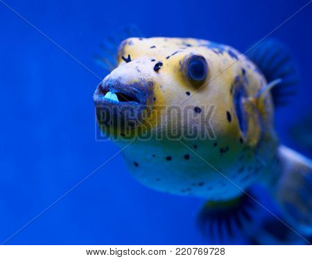 Arothron Nigropunctatus. Dotted Fugu Fish Beside A Coral