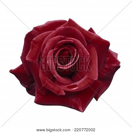 Velvet red rose on a white isolated background with clipping path.  no shadows. Closeup. For design, texture, borders, frame, background.  Nature.