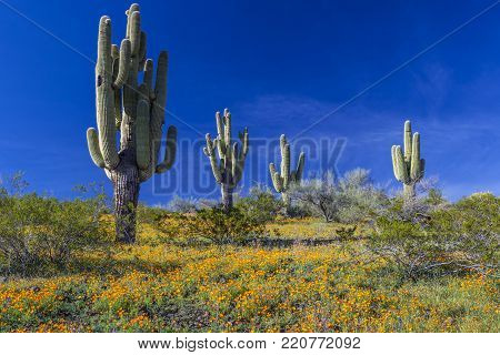 Golden Poppies (Eschscholzia californica) blooming photographed with Saguaro Cacti (Carnegiea gigantea) at Peridot Mesa (on the San Carlos Indian Reservation) in Arizona USA.