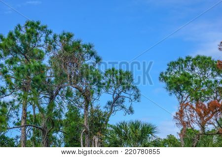 slash pine trees in the Florida autumn