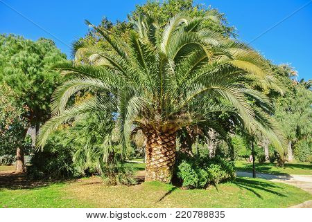 A Row Of Palm Trees In The Street Of Southern European City After Pruning Cutting On Winter Spring D
