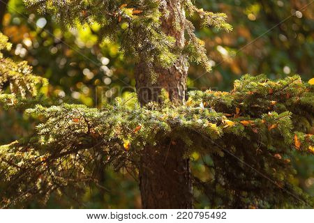 Conifer tree with bright sun beams. The close up image. The detail of the twigs of conifer tree.
