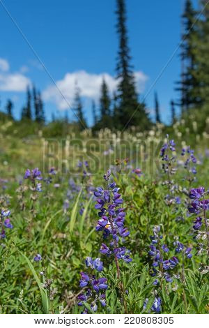 Purple Lupine in Front of Bear Grass and Blue Sky