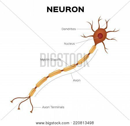 Neuron anatomy vector . infographic on white background