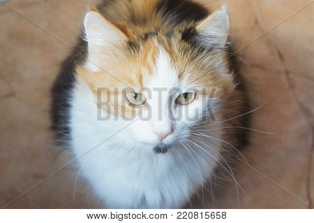 tricolor thoroughbred cat, pet of our family