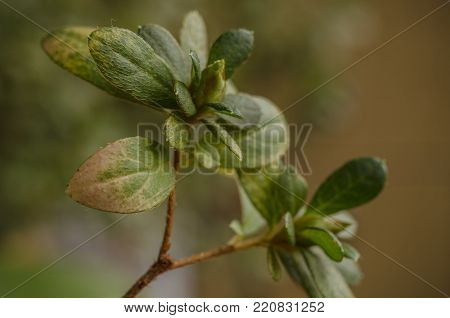 azalea leaves or rhododendron in garden. Green azaleas bush rhododendron. soft selective focus background